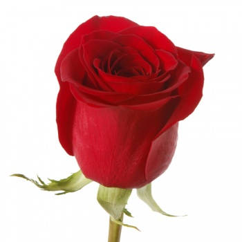 Картинки по запросу роза фридом